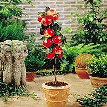 Zwerg Apfelbaum Red Spur - 1 baum