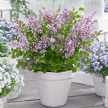 Zwerg Duftflieder Flowerfesta® Purple, im ca. 19