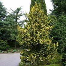 Zwerg Hinoki Scheinzypresse 50-60cm -