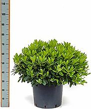 Zwerg-Klebsamen, ca. 55 cm, Balkonpflanze Westbalkon-Ostbalkon, Terrassenpflanze halbschattig, Kübelpflanze Westbalkon-Ostbalkon, Pittosporum tobira nana, im Topf