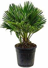 Zwerg-Palme, ca. 70 cm, Balkonpflanze exotisch,