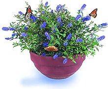 Zwerg-Schmetterlingsflieder Blue Chip -