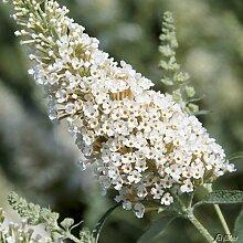Zwerg-Schmetterlingsflieder BUZZ Ivory -