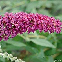 Zwerg-Schmetterlingsflieder BUZZ Velvet -