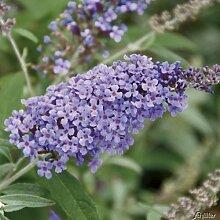 Zwerg-Schmetterlingsflieder BUZZ Violet -