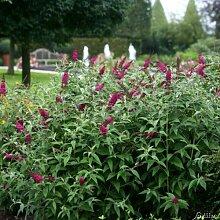 Zwerg-Schmetterlingsflieder Miss Ruby -