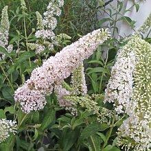 Zwerg-Schmetterlingsflieder Reve de Papillon