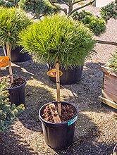 Zwerg-Schwarz-Kiefer, ca. 100 cm, Balkonpflanze immergrün-winterfest, Terrassenpflanze sonnig-halbschattig, Kübelpflanze Südbalkon-Westbalkon-Ostbalkon, Pinus marie bregeon, im Topf