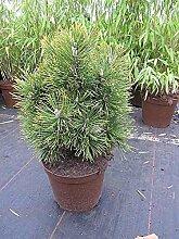 Zwergbergkiefer Alpenzwerg - Pinus mugo Alpenzwerg