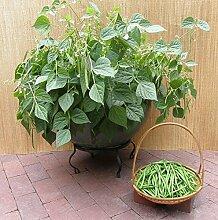 Zwergbusch Bohnen 30 Samen Packung von Tradico