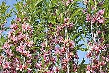 Zwergmandel 'Fire Hill' - starke Pflanze im grossen 5lt Topf