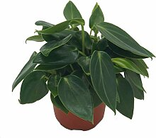 Zwergpfeffer, (Peperomia rotundifolia),
