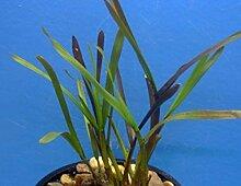 Zwergschilf Teichpflanze Teichpflanzen Teich